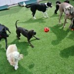 Dogs playing in the daycare yard