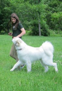 Dog trainer walking a white dog