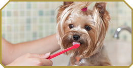 Small dog getting its teeth brushed