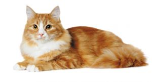 Red marble mixed-breed cat lying isolated on white and looking almost in camera