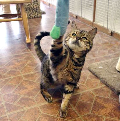 Cat reaching up to play with a toy