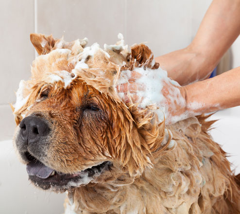 Chow Chow dog getting a bath
