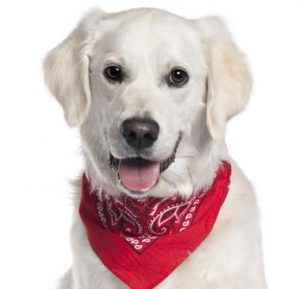 White dog in a red bandana