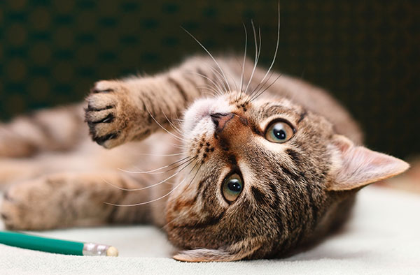 Tabby cat rolling on its back