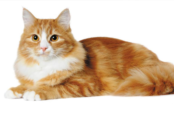 Orange long-haired cat