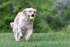 dog running with a tennis ball in its mouth